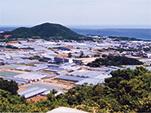国産白菊(愛知県田原市)